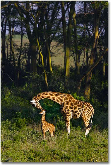 giraffe-mother-and-baby.jpg