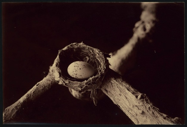 Nest of the lemon-breasted flycatcher / Archibald James Campbell